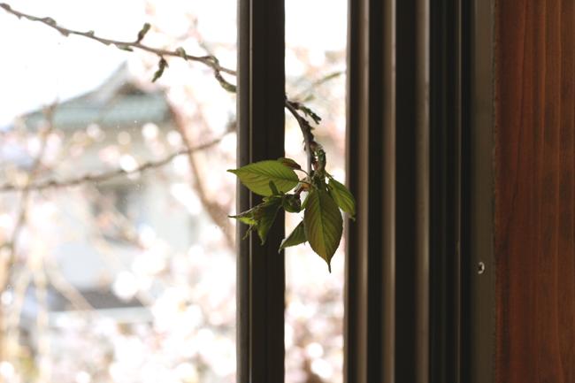 桜の葉の画像